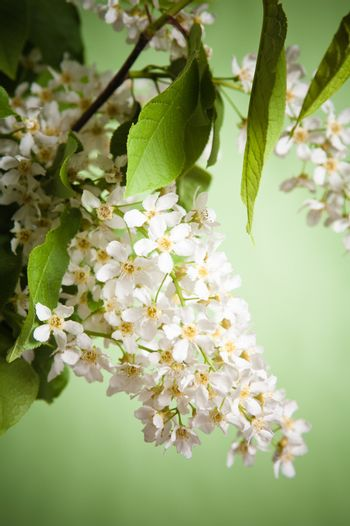Bouquet of a blossoming bird cherry in a vase on a table