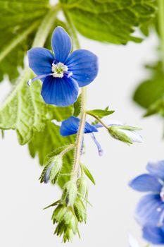 Dark blue field flower