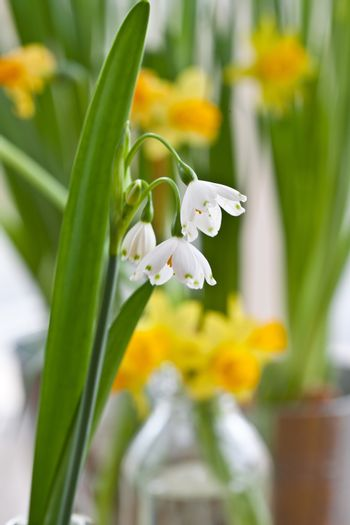 Blooming snowdrops