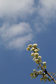 Apple Blossom - 16