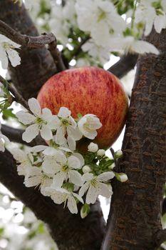 Apple Blossom - 17