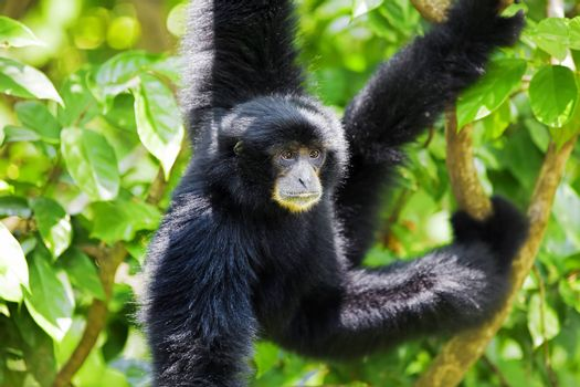 Siamang Gibbon hanging in the trees in Malaysia
