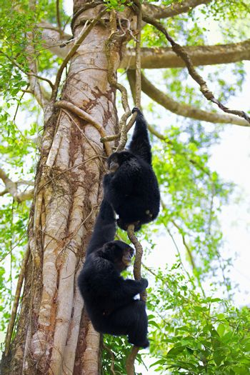 Two Siamang Gibbons hanging in the trees in Malaysia