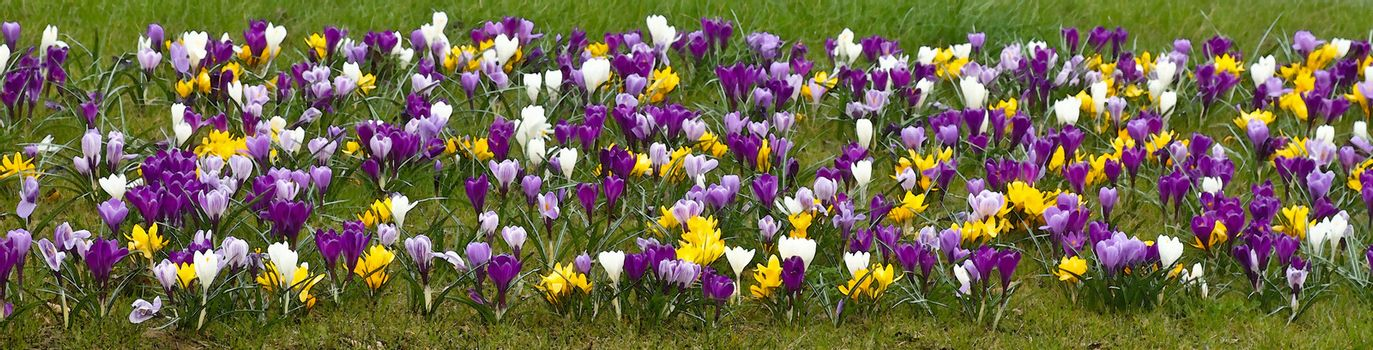 Pano colorful springcrocus flowers in grass