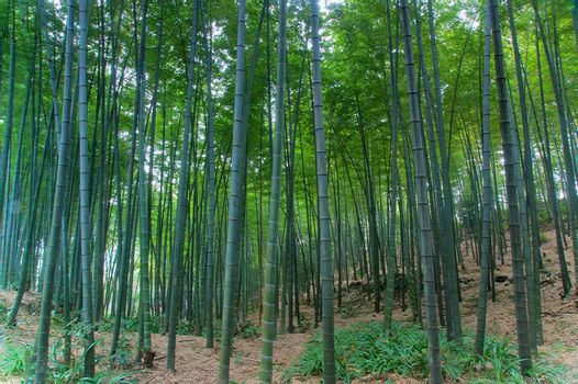 Bamboo grown in the southern provinces of mainland China