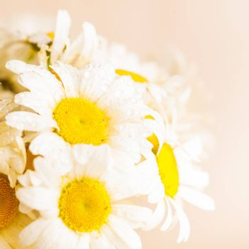 White daisies in vase with waterdrops closeup
