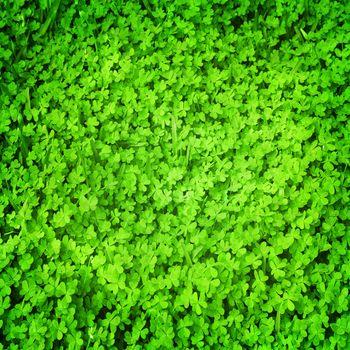 Green fresh clover field