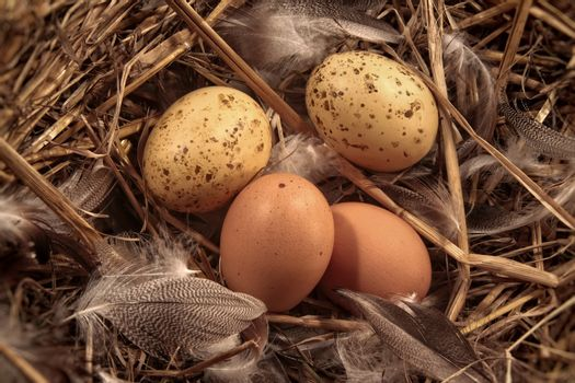 Eggs in straw with feathers