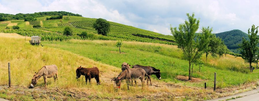 Donkeys in the pasture panorama