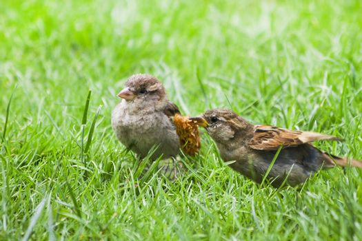 Female adult House sparrow feeding fly out nestling