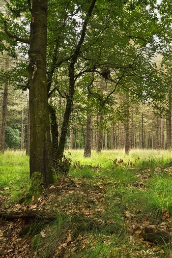 Forest in summer with oak tree