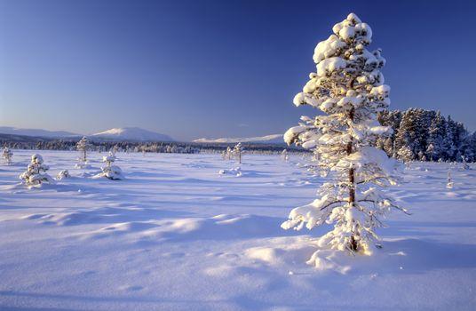 Beautiful winter landscape of snowy tree in sweden