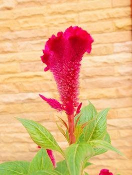 Plumed Cockscomb, Chinese Wool Flower (Celosia argentea L. var. cristata (L.) Kuntze)
