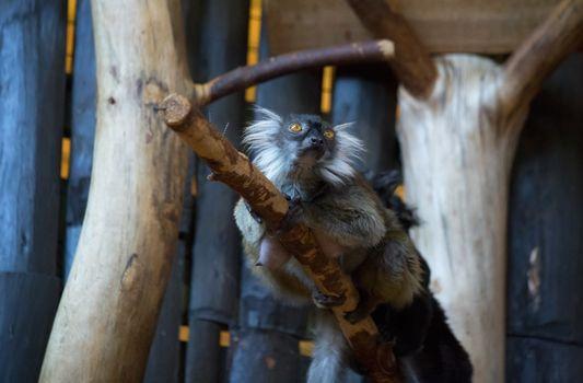 Lemur funny animal