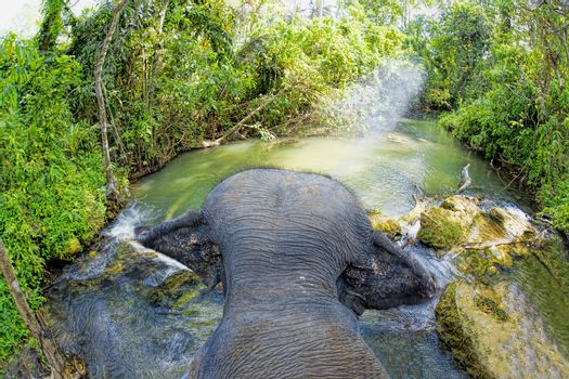 Elephant walking in a river in the jungle