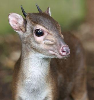 Blue Duiker Antelope