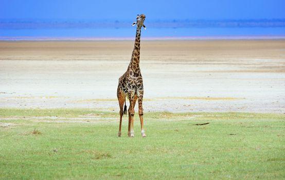 giraffe in tanzanian national park
