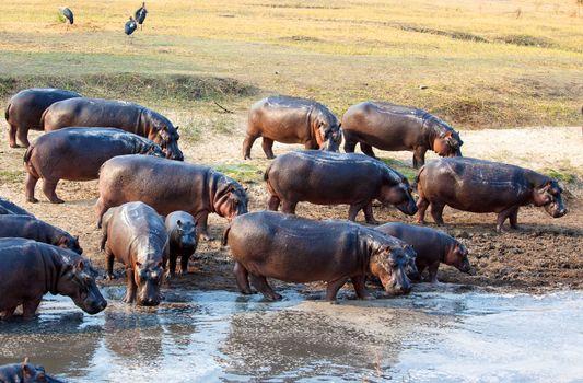 hippo in the wild