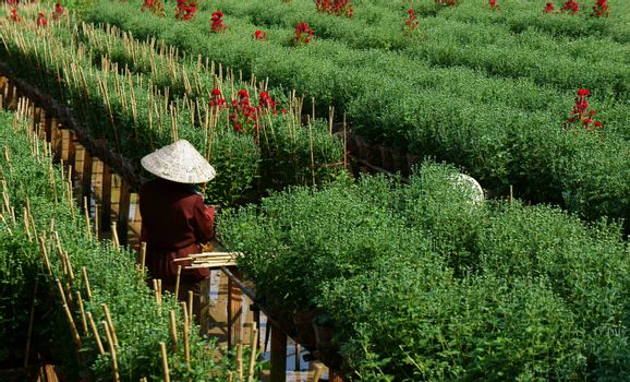 SA DEC, VIET NAM - JANUARY 26: Farmer working on farmland, they care daisy flower tree in Sadec on January 26, 2013