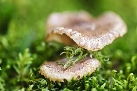 Brown wood mushrooms growing on mossy green forest floor