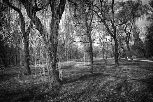 Landscape with willow trees in spring park in black and white. Toronto, Canada.