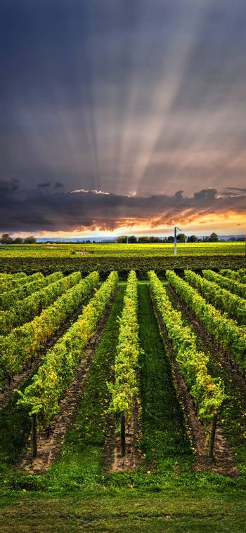 Vertical panorama of vineyard at sunset in Niagara peninsula, Ontario, Canada.