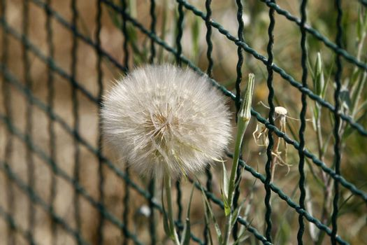 dandelions in front of a wire fence