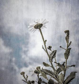 Grunge photo of daisy flowers