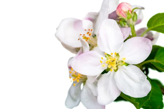 Apple flowers isolated on white background for spring season