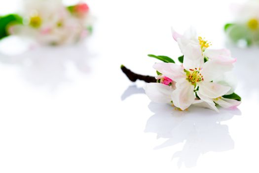 Spring apple flowers on white background for spring season