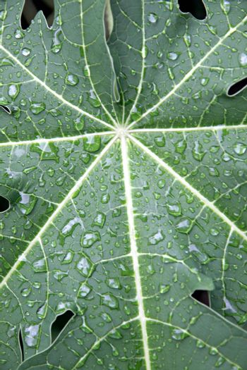Water drops on the leaves of papaya in the Orchard.