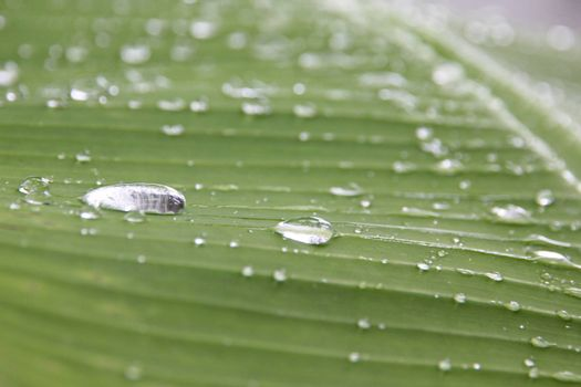 Water drops on the leaves of banana in the Orchard.