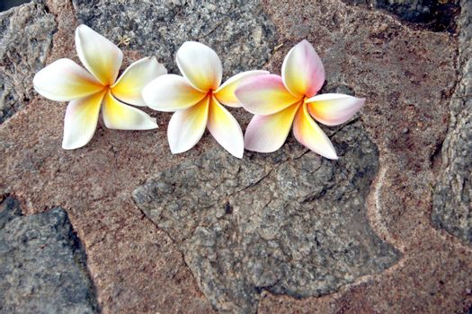 The Picture focus Frangipani flowers are yellowish white on stone Background.