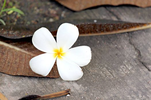 Frangipani flowers are yellowish white Come off on ground.
