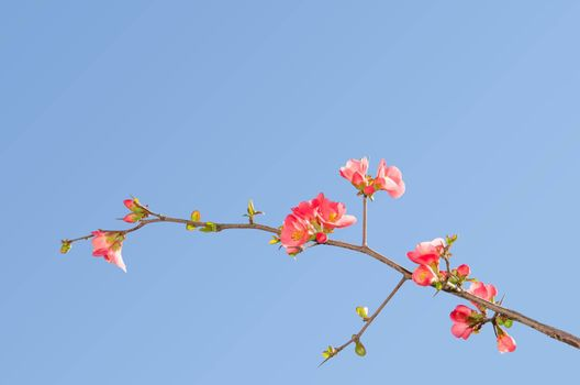 Single blooming branch of flowering quince bush against blue sky with free place for your text