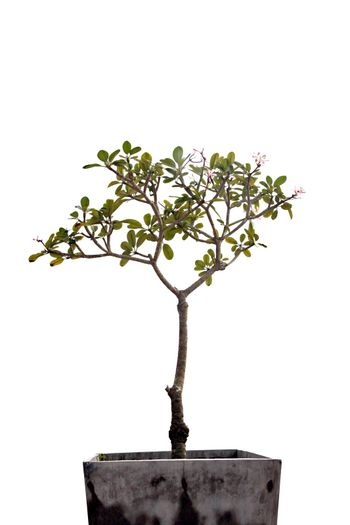 Tree in potted on white background.