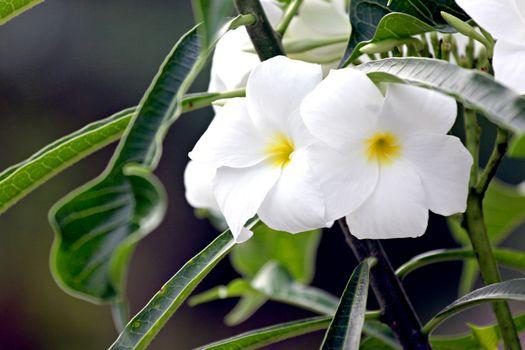 Focus Picture White flower in the garden.