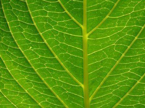 green leaf close up background
