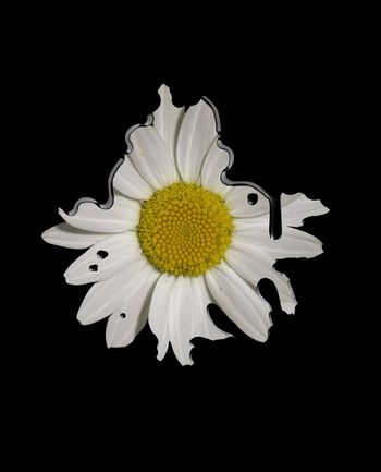 one dirty daisy in black dripping background