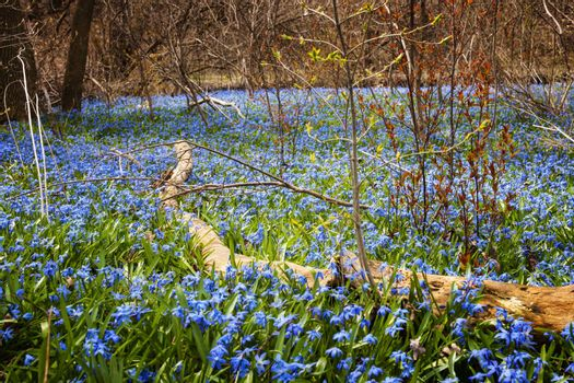 A carpet of early spring blue flowers glory-of-the-snow blooming in abundance on forest floor. Ontario, Canada.