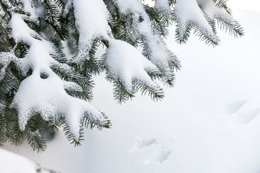Winter evergreen tree branches under fluffy snow with copy space