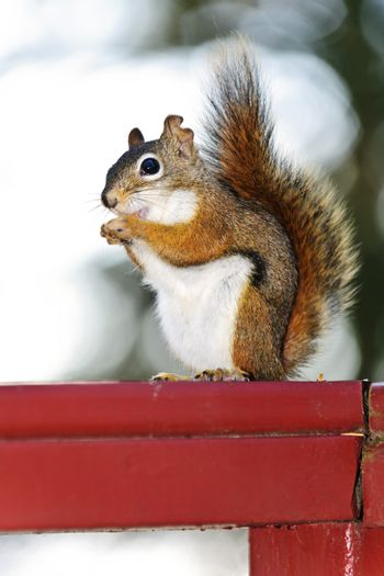 Tree squirrel eating nut sitting on wooden red railing
