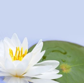 White lotus flower or water lily floating with copy space
