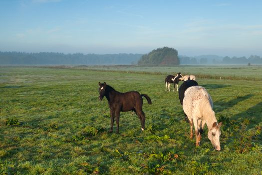 horses grazing on morning pasture