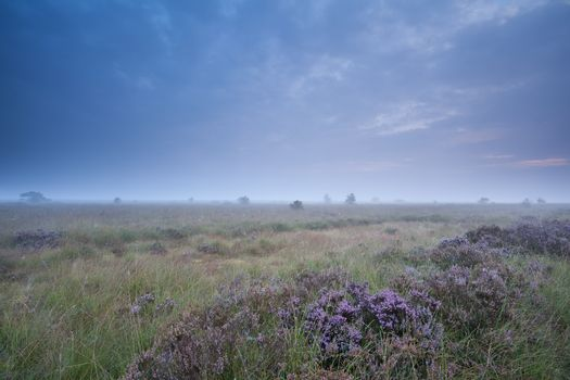 flowering heather and misty summer morning