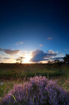 sunset sunshine over heather flowers