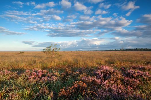 gold morning sunshine over marsh with heather