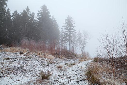coniferous forest in winter fog