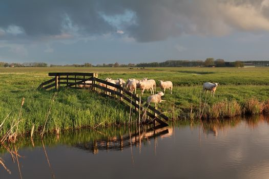 sheep herd on pasture by river
