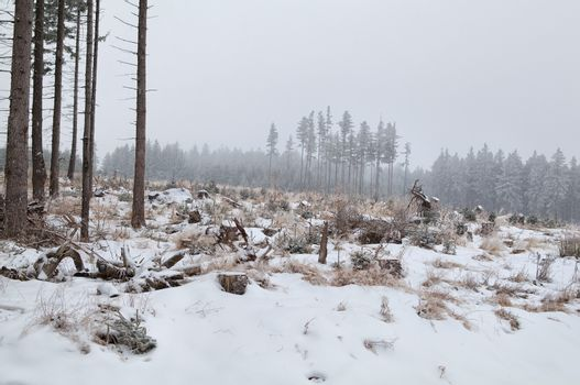 snowing over meadow in coniferous forest